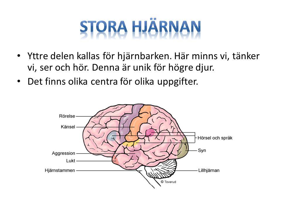 Yttre delen kallas för hjärnbarken. Här minns vi, tänker vi, ser och hör. Denna är unik för högre djur. Det finns olika centra för olika uppgifter.