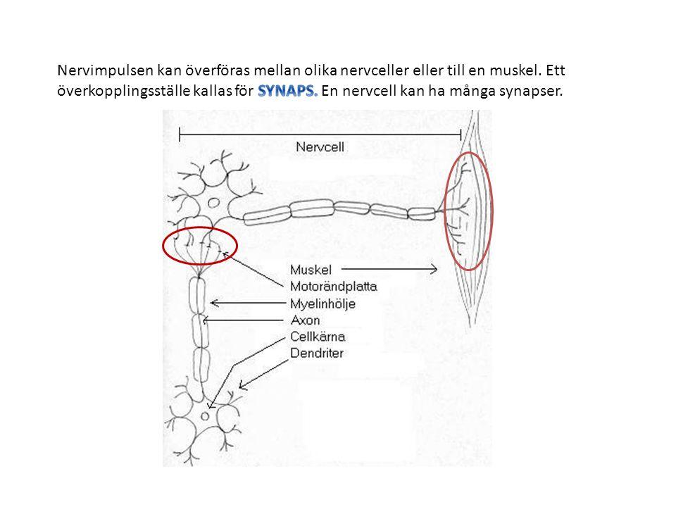 När nervsignalen kommer fram till synapsen släpps ett signalämne ut genom nervcellen.