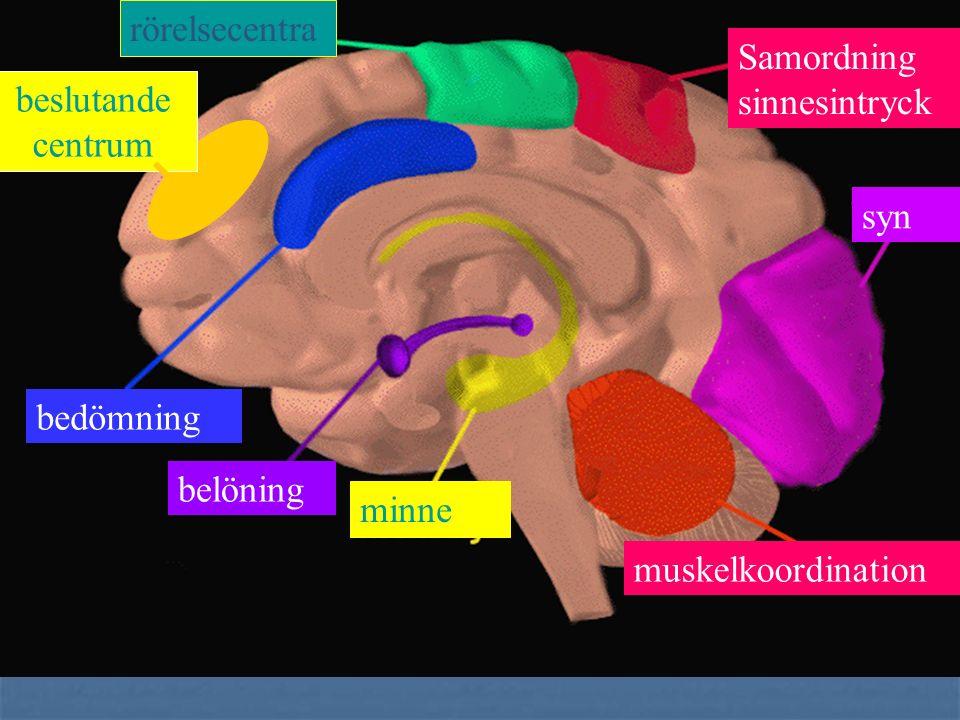 Följande områden har hög täthet av CB1- receptorbindningar basala ganglierna, (motorisk kontroll) cerebellum, (motorisk kontroll) hippocampus, (kognit