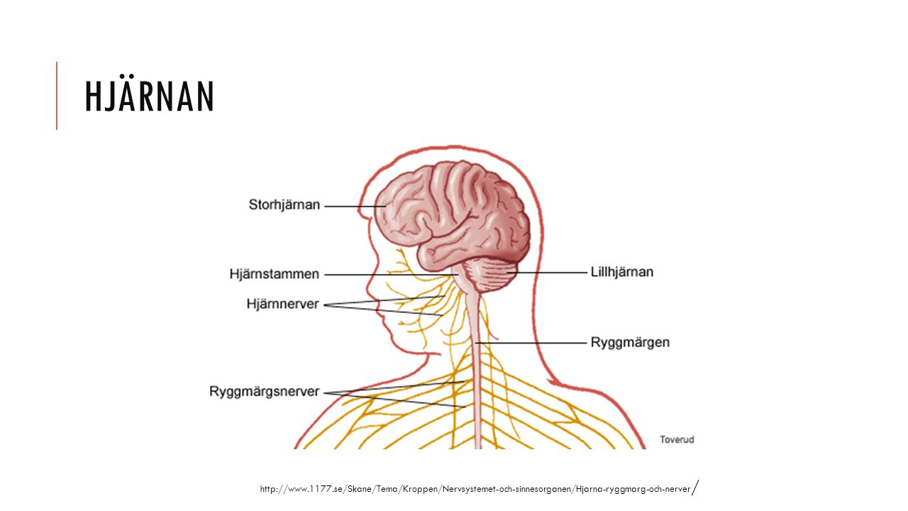 HJÄRNAN http://www.1177.se/Skane/Tema/Kroppen/Nervsystemet-och-sinnesorganen/Hjarna-ryggmarg-och-nerver /