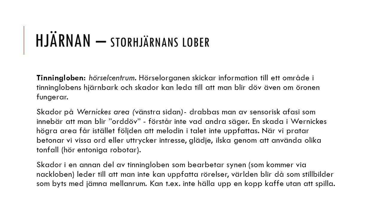 HJÄRNAN – STORHJÄRNANS LOBER Tinningloben: hörselcentrum.