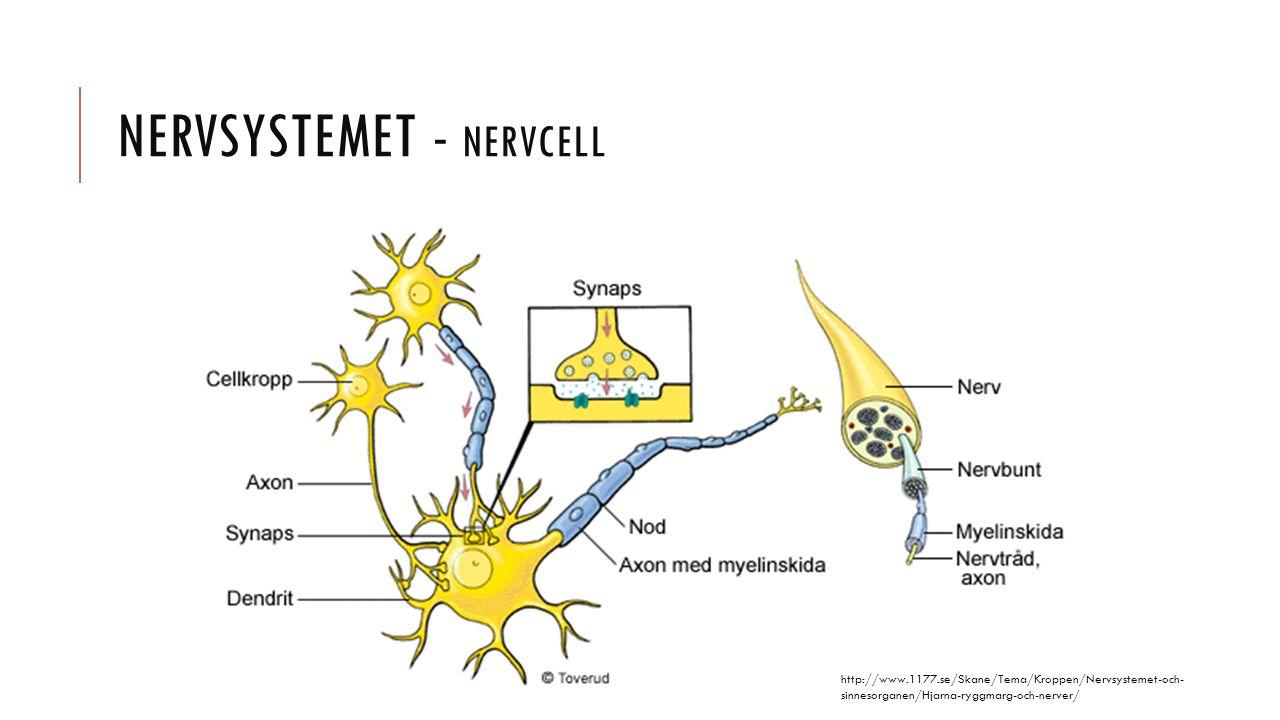 NERVSYSTEMET - NERVCELL http://www.1177.se/Skane/Tema/Kroppen/Nervsystemet-och- sinnesorganen/Hjarna-ryggmarg-och-nerver/