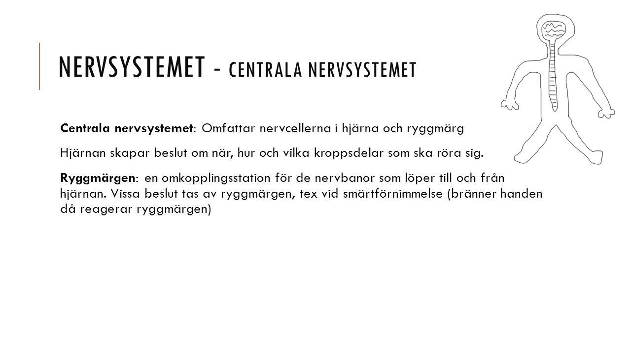 NERVSYSTEMET - CENTRALA NERVSYSTEMET Centrala nervsystemet: Omfattar nervcellerna i hjärna och ryggmärg Hjärnan skapar beslut om när, hur och vilka kroppsdelar som ska röra sig.