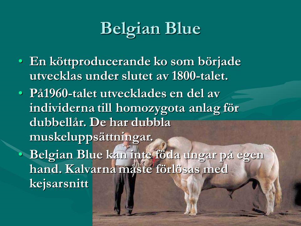 Belgian Blue En köttproducerande ko som började utvecklas under slutet av 1800-talet.En köttproducerande ko som började utvecklas under slutet av 1800