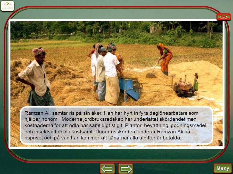 Ramzan Ali samlar ris på sin åker. Han har hyrt in fyra daglönearbetare som hjälper honom. Moderna jordbruksredskap har underlättat skördandet men kos
