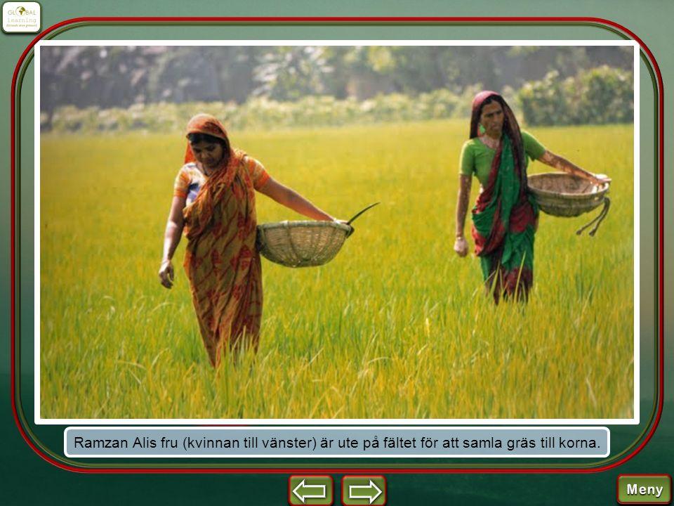 Ramzan Alis fru (kvinnan till vänster) är ute på fältet för att samla gräs till korna.