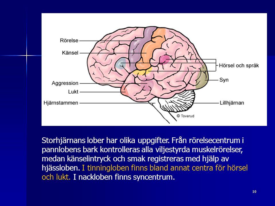 10 Storhjärnans lober har olika uppgifter.