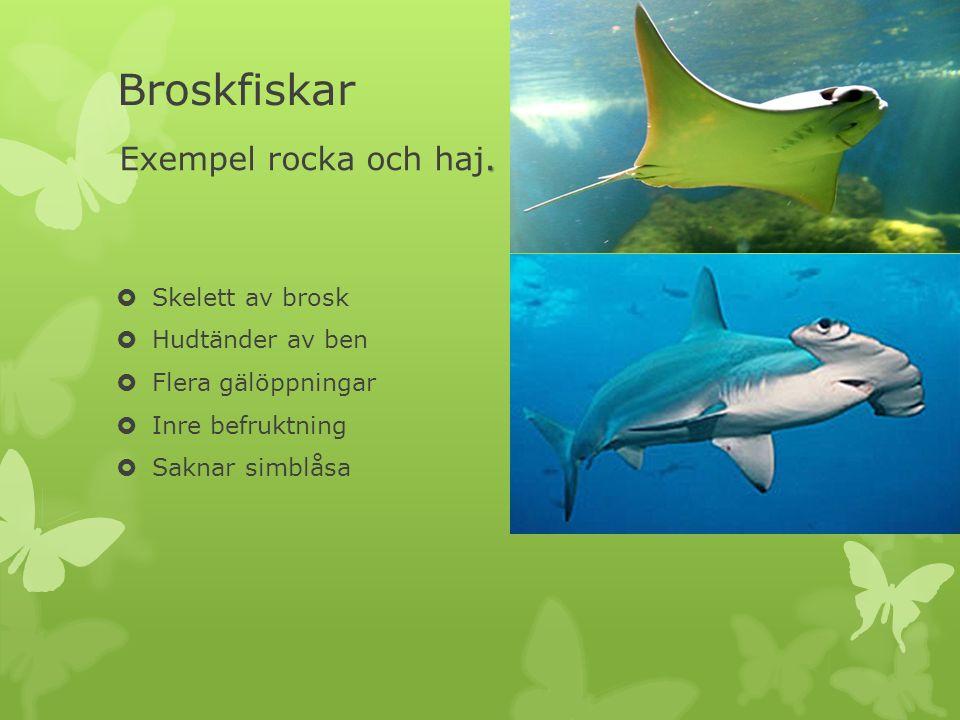 Hudtänder Överkurs  Plakoidfjäll eller hudtänder är ett slags fiskfjäll som täcker huden hos många broskfiskar, till exempel hajar och rockor.