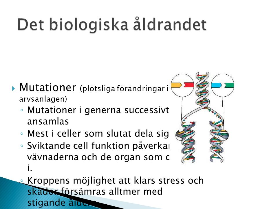  Mutationer (plötsliga förändringar i arvsanlagen) ◦ Mutationer i generna successivt ansamlas ◦ Mest i celler som slutat dela sig ◦ Sviktande cell funktion påverkar vävnaderna och de organ som de ingår i.