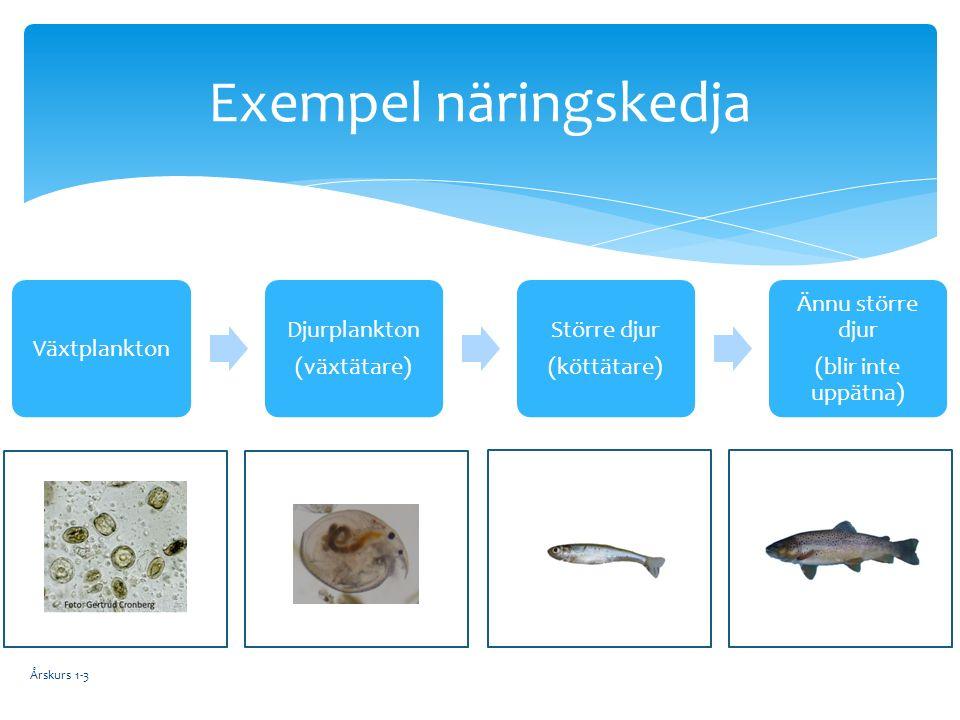 Växtplankton Djurplankton (växtätare) Större djur (köttätare) Ännu större djur (blir inte uppätna) Exempel näringskedja Årskurs 1-3