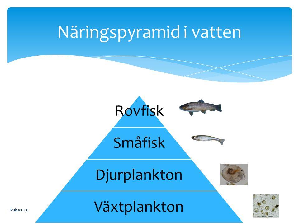 Rovfisk Småfisk Djurplankton Växtplankton Årskurs 1-3 Näringspyramid i vatten