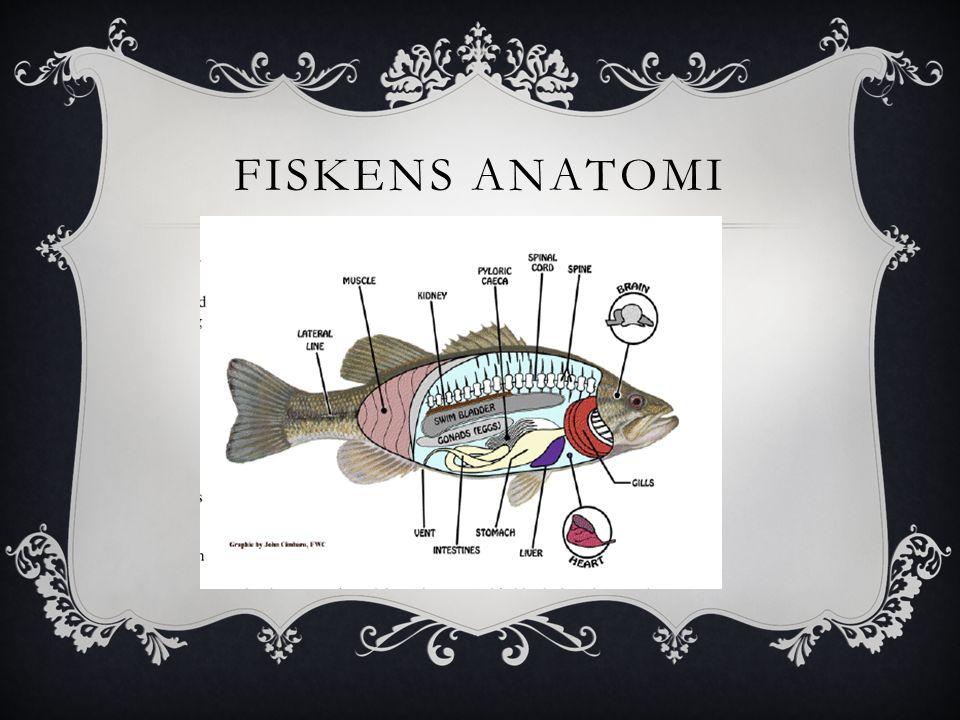 VIKTIGT ATT FÖRSTÅ  När man rensar en fisk bör man ha koll på var de olika inälvorna sitter, så man inte skär sönder sånt som kan förstöra fiskköttet.