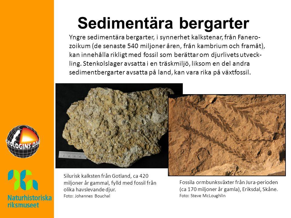 Sedimentära bergarter Yngre sedimentära bergarter, i synnerhet kalkstenar, från Fanero- zoikum (de senaste 540 miljoner åren, från kambrium och framåt), kan innehålla rikligt med fossil som berättar om djurlivets utveck- ling.