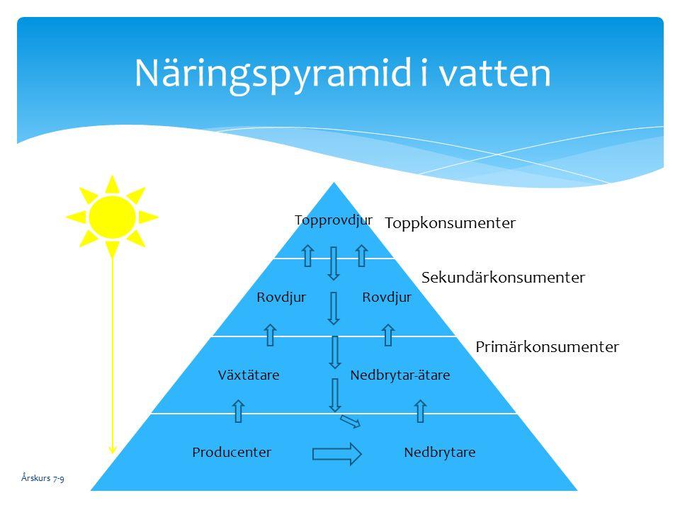 Årskurs 7-9 Näringspyramid i vatten Primärkonsumenter Sekundärkonsumenter Toppkonsumenter