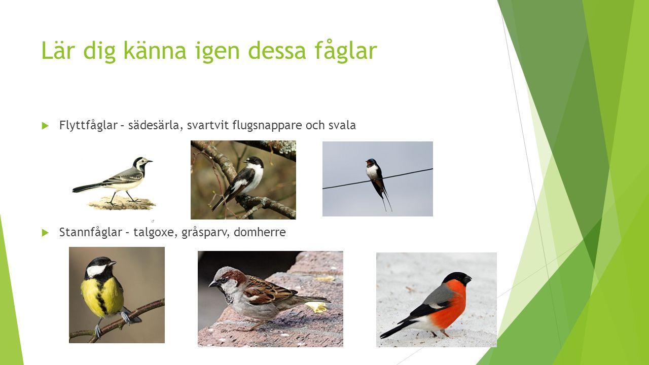 Lär dig känna igen dessa fåglar  Flyttfåglar – sädesärla, svartvit flugsnappare och svala  Stannfåglar – talgoxe, gråsparv, domherre