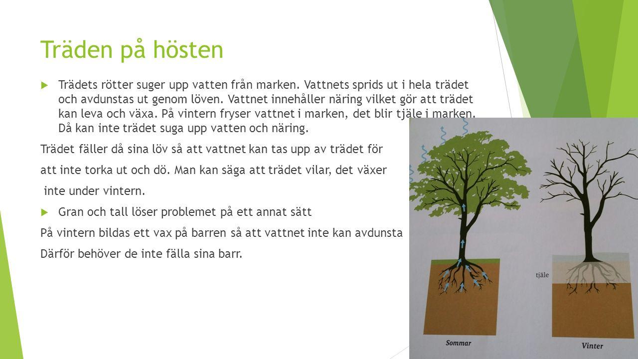 Träden på hösten  Trädets rötter suger upp vatten från marken.