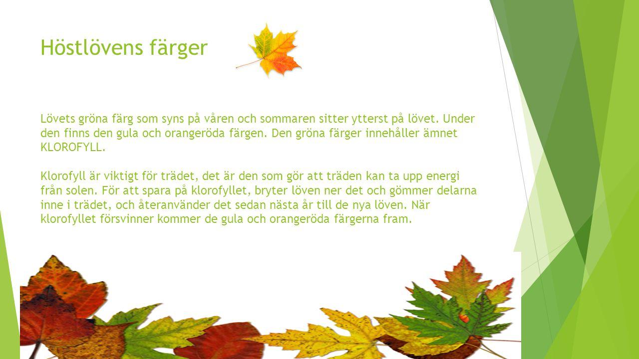 Höstlövens färger Lövets gröna färg som syns på våren och sommaren sitter ytterst på lövet.