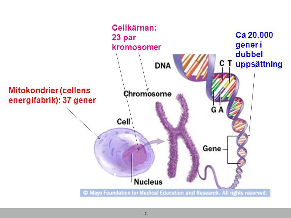 Cellkärnan: 23 par kromosomer 16 Mitokondrier (cellens energifabrik): 37 gener Ca 20.000 gener i dubbel uppsättning