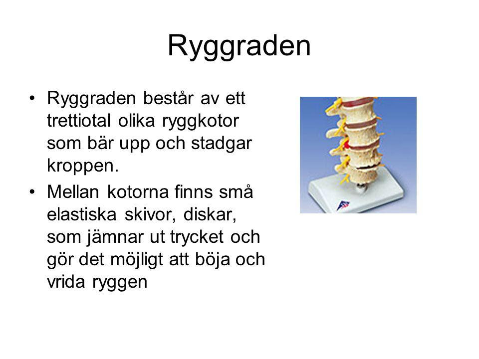 Ryggraden Ryggraden består av ett trettiotal olika ryggkotor som bär upp och stadgar kroppen. Mellan kotorna finns små elastiska skivor, diskar, som j