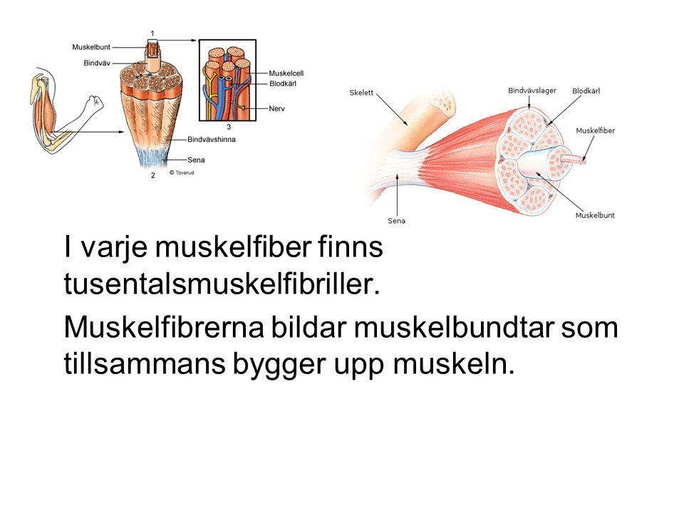 I varje muskelfiber finns tusentalsmuskelfibriller. Muskelfibrerna bildar muskelbundtar som tillsammans bygger upp muskeln.