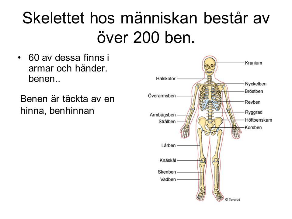 Skelettet hos människan består av över 200 ben. 60 av dessa finns i armar och händer. benen.. Benen är täckta av en hinna, benhinnan