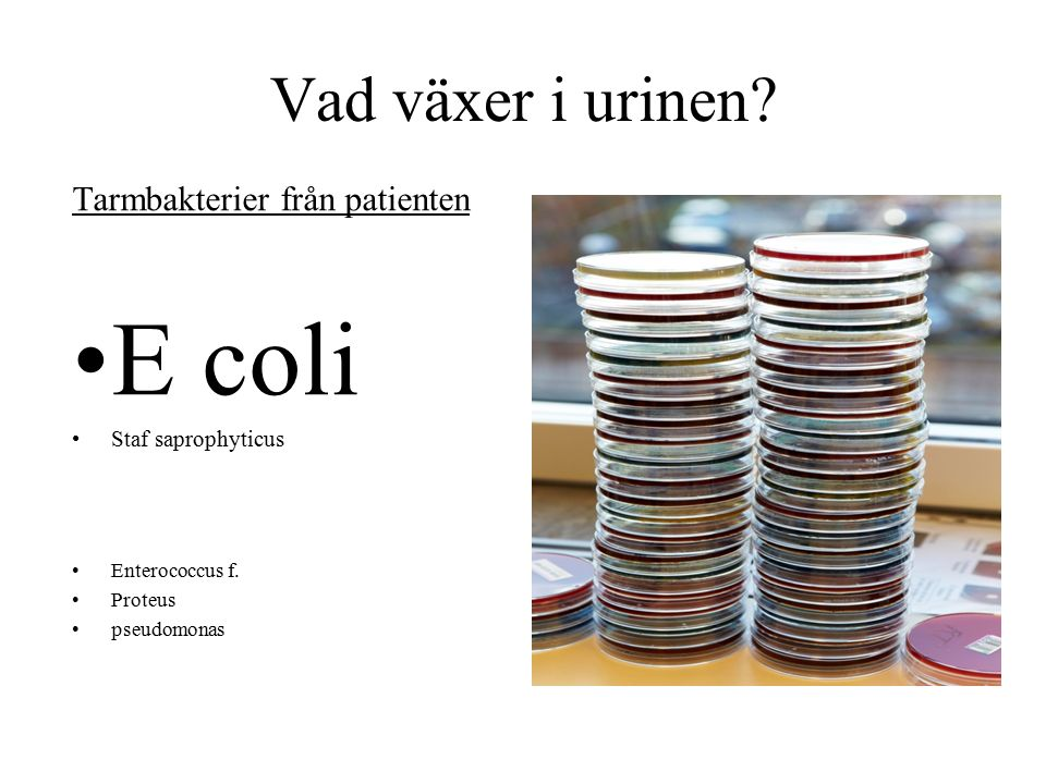 Vad växer i urinen. Tarmbakterier från patienten E coli Staf saprophyticus Enterococcus f.