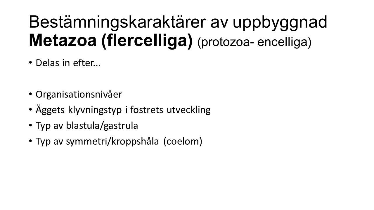 Bestämningskaraktärer av uppbyggnad Metazoa (flercelliga) (protozoa- encelliga) Delas in efter...