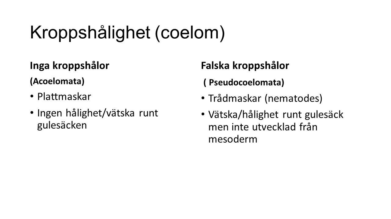 Kroppshålighet (coelom) Inga kroppshålor (Acoelomata) Plattmaskar Ingen hålighet/vätska runt gulesäcken Falska kroppshålor ( Pseudocoelomata) Trådmaskar (nematodes) Vätska/hålighet runt gulesäck men inte utvecklad från mesoderm