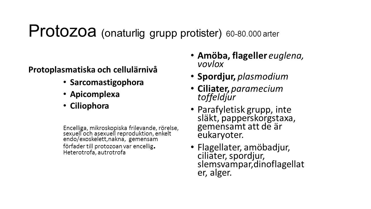 Protozoa (onaturlig grupp protister) 60-80.000 arter Protoplasmatiska och cellulärnivå Sarcomastigophora Apicomplexa Ciliophora Encelliga, mikroskopiska frilevande, rörelse, sexuell och asexuell reproduktion, enkelt endo/exoskelett,nakna, gemensam förfader till protozoan var encellig.
