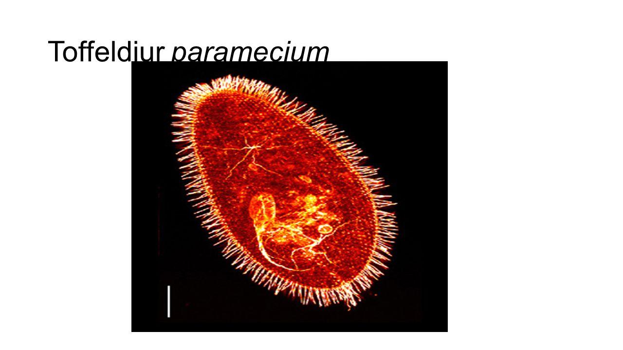 Toffeldjur paramecium