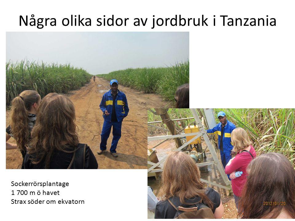 Några olika sidor av jordbruk i Tanzania Sockerrörsplantage 1 700 m ö havet Strax söder om ekvatorn