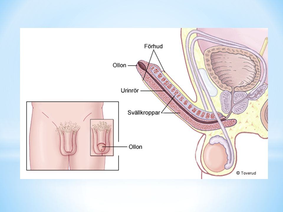 * Vecka 20 Embryot har nu blivit större och kallas nu för ett foster.
