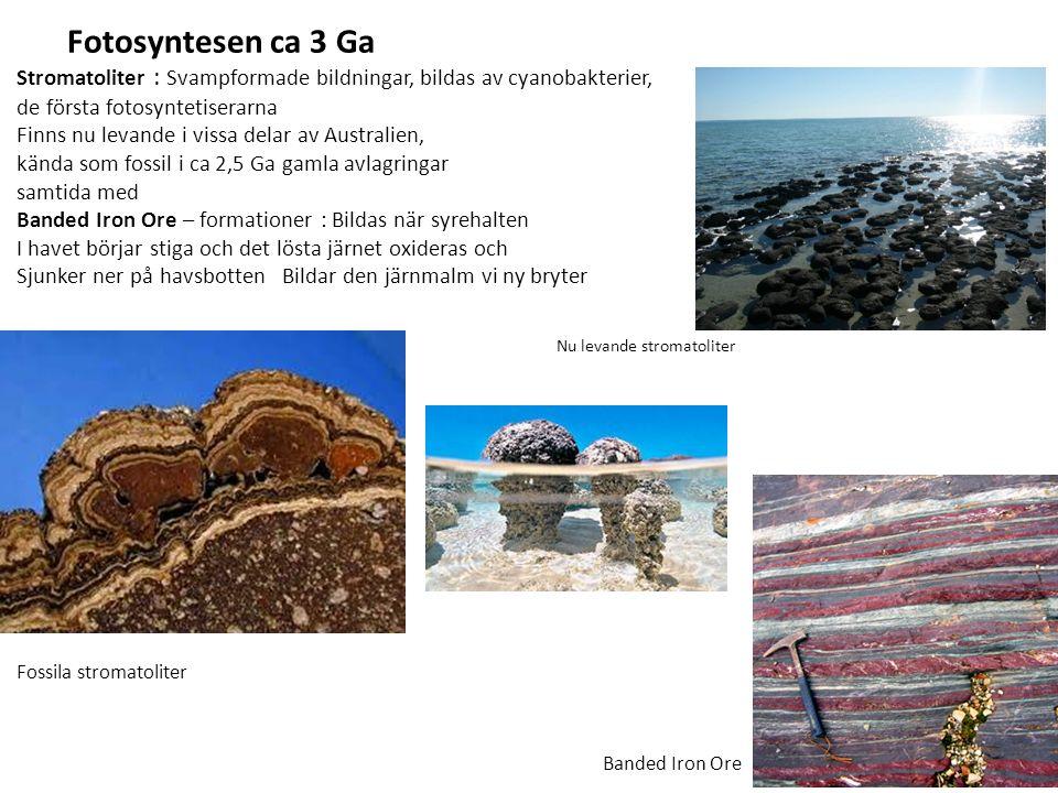 Stromatoliter : Svampformade bildningar, bildas av cyanobakterier, de första fotosyntetiserarna Finns nu levande i vissa delar av Australien, kända som fossil i ca 2,5 Ga gamla avlagringar samtida med Banded Iron Ore – formationer : Bildas när syrehalten I havet börjar stiga och det lösta järnet oxideras och Sjunker ner på havsbotten Bildar den järnmalm vi ny bryter Fossila stromatoliter Banded Iron Ore Nu levande stromatoliter Fotosyntesen ca 3 Ga
