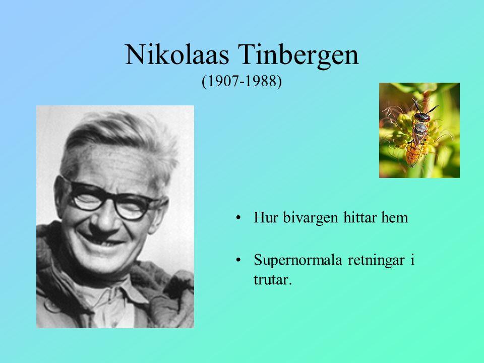 Nikolaas Tinbergen (1907-1988) Hur bivargen hittar hem Supernormala retningar i trutar.