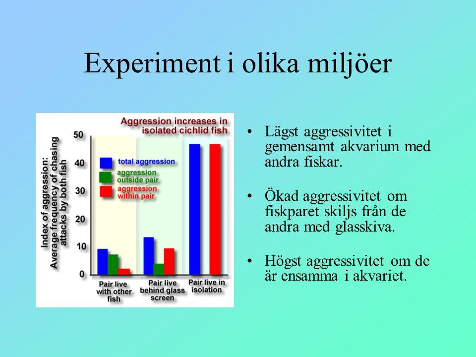 Experiment i olika miljöer Lägst aggressivitet i gemensamt akvarium med andra fiskar. Ökad aggressivitet om fiskparet skiljs från de andra med glasski