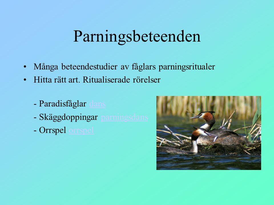 Parningsbeteenden Många beteendestudier av fåglars parningsritualer Hitta rätt art. Ritualiserade rörelser - Paradisfåglar dansdans - Skäggdoppingar p