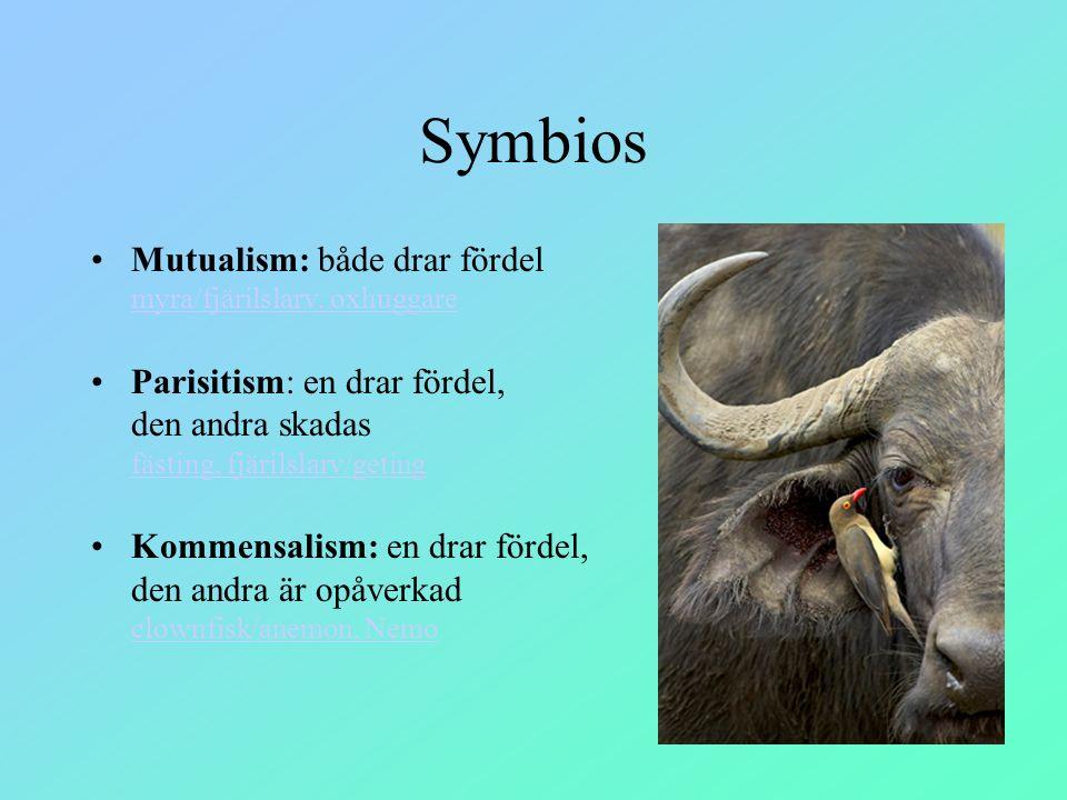 Symbios Mutualism: både drar fördel myra/fjärilslarv, oxhuggare myra/fjärilslarv, oxhuggare Parisitism: en drar fördel, den andra skadas fästing, fjär