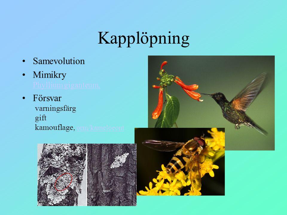 Kapplöpning Samevolution Mimikry Phyllium giganteum, Phyllium giganteum, Försvar varningsfärg gift kamouflage, orm/kameloeontorm/kameloeont