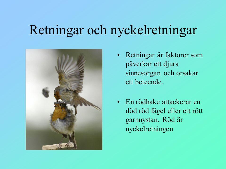Retningar och nyckelretningar Retningar är faktorer som påverkar ett djurs sinnesorgan och orsakar ett beteende. En rödhake attackerar en död röd fåge