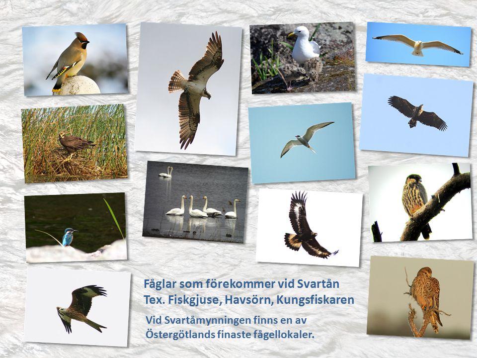 Exempel på Svartåns vattendjur Flodpärlmussla, Röding, Ål, Gös, Färna och Gädda samt Kräftor.