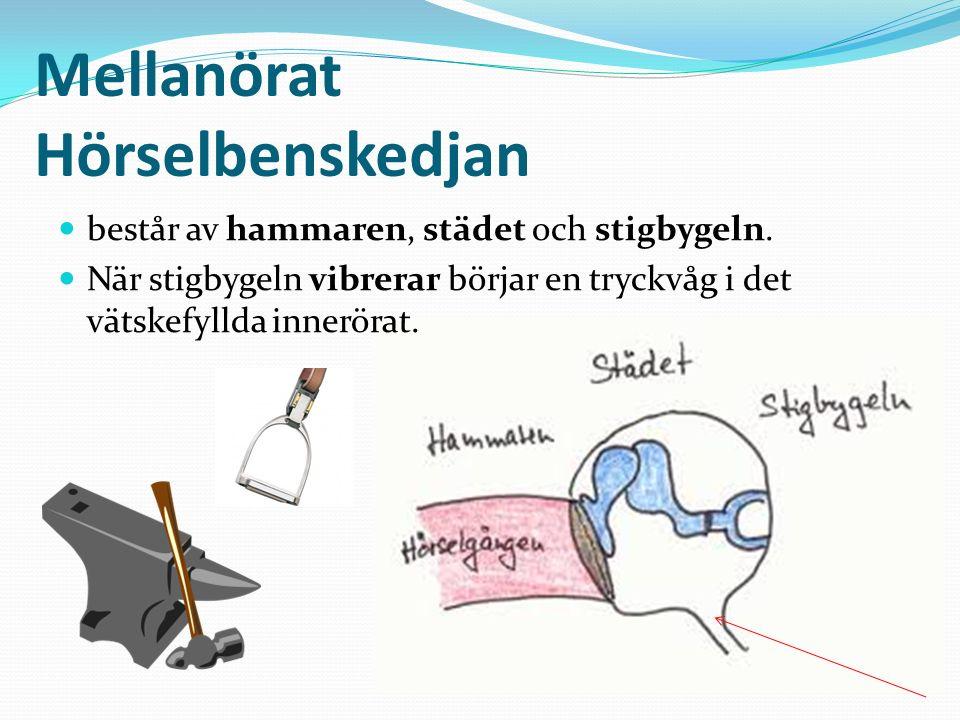 Mellanörat Hörselbenskedjan består av hammaren, städet och stigbygeln.