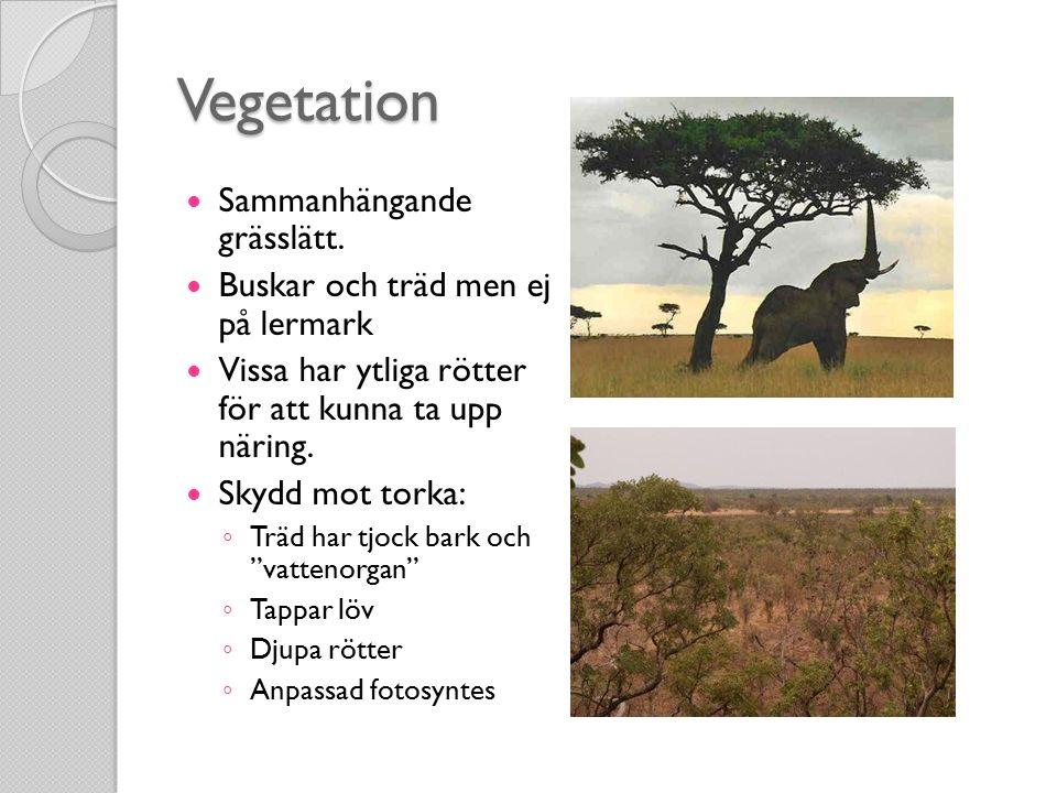 Vegetation Sammanhängande grässlätt.