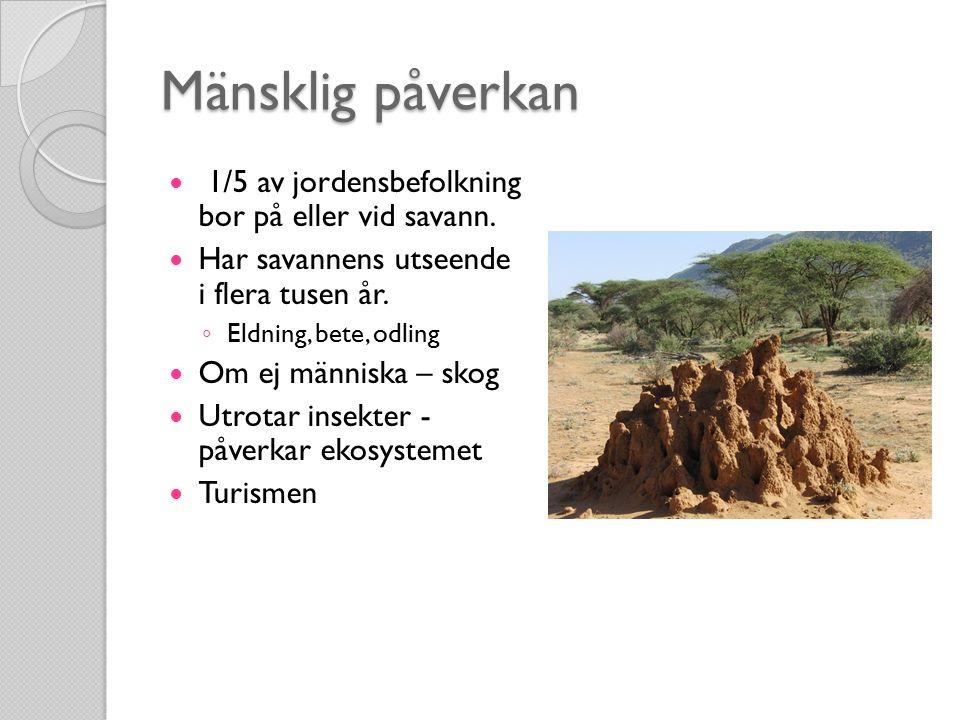 Mänsklig påverkan 1/5 av jordensbefolkning bor på eller vid savann.