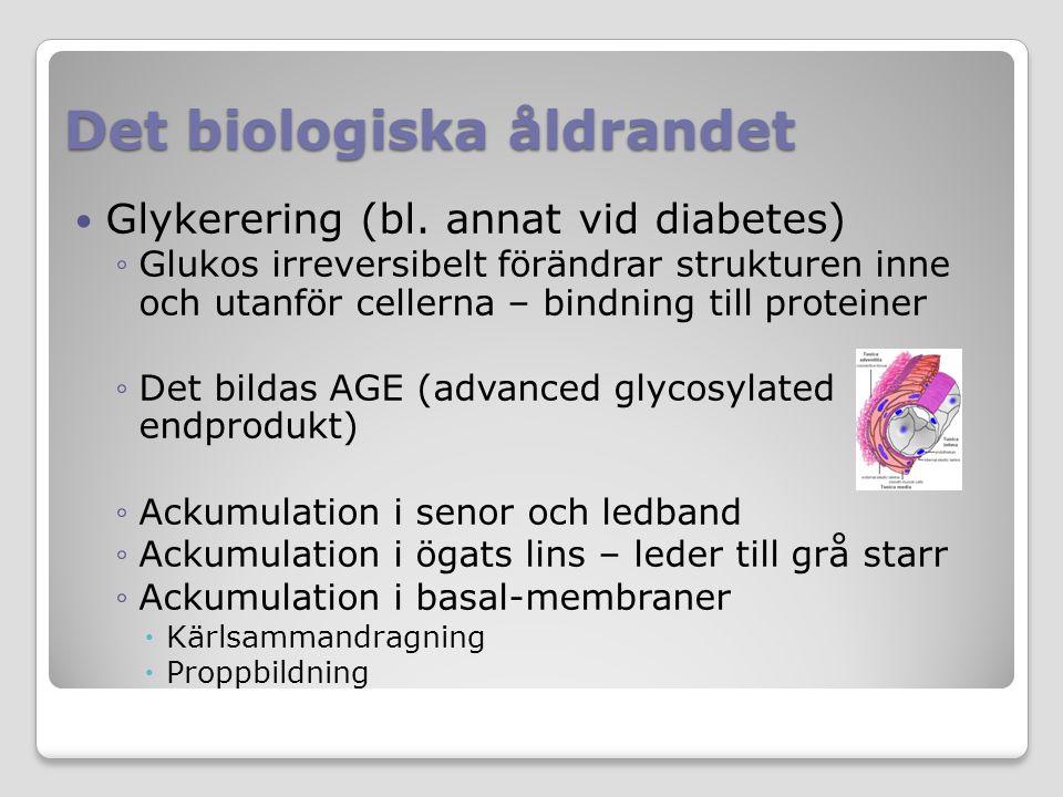 Det biologiska åldrandet Glykerering (bl. annat vid diabetes) ◦Glukos irreversibelt förändrar strukturen inne och utanför cellerna – bindning till pro