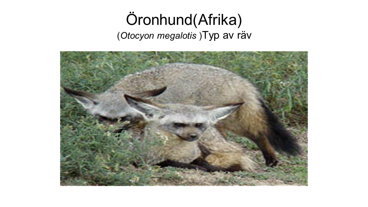 Öronhund(Afrika) (Otocyon megalotis ) Typ av räv