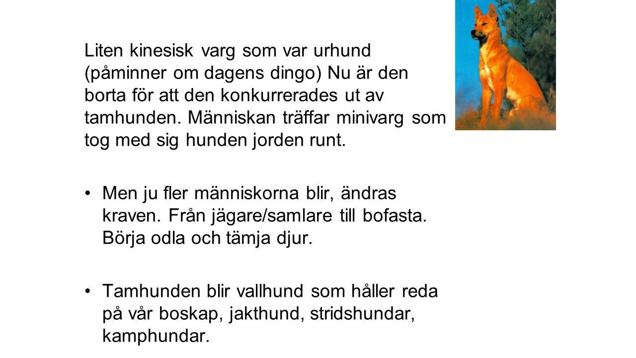 Liten kinesisk varg som var urhund (påminner om dagens dingo) Nu är den borta för att den konkurrerades ut av tamhunden.