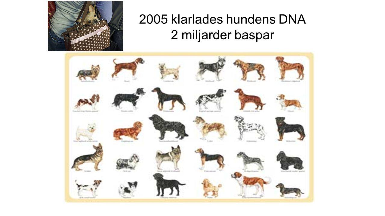 2005 klarlades hundens DNA 2 miljarder baspar