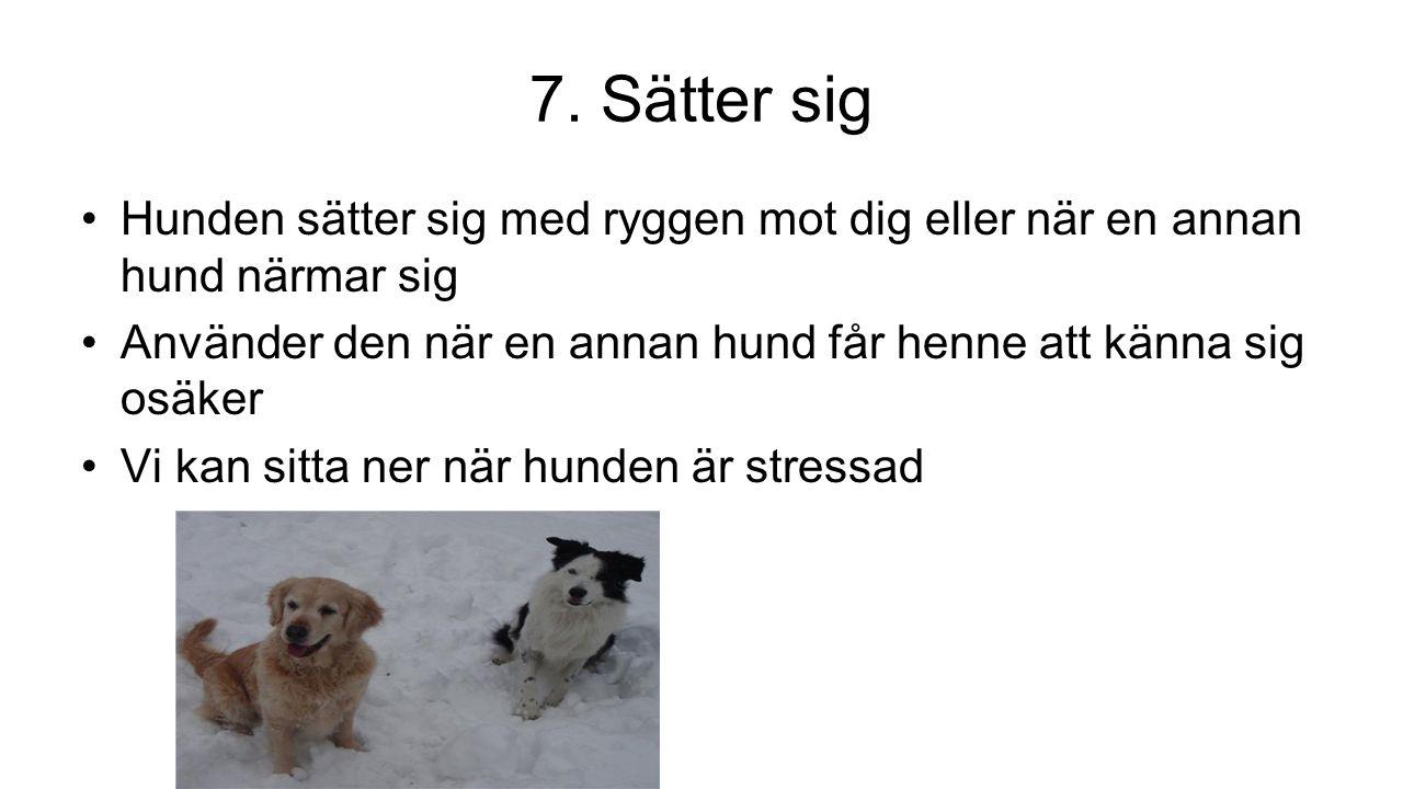 7. Sätter sig Hunden sätter sig med ryggen mot dig eller när en annan hund närmar sig Använder den när en annan hund får henne att känna sig osäker Vi