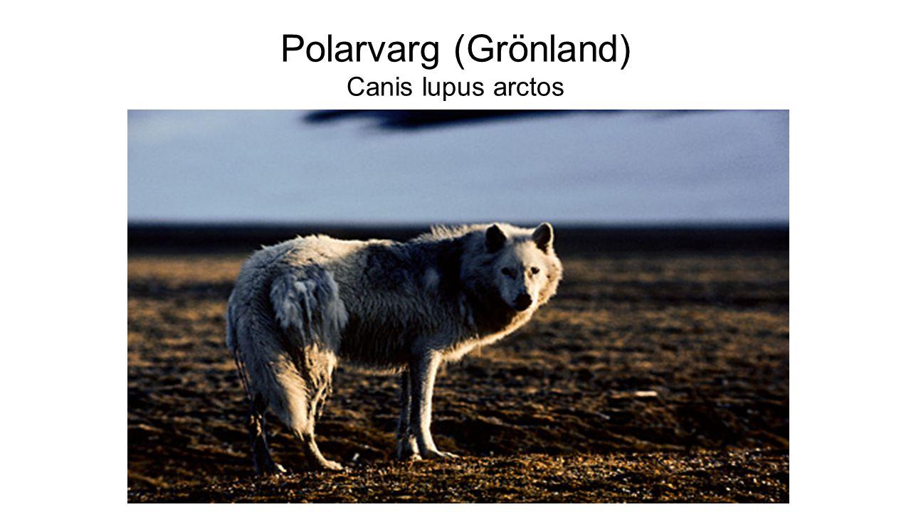 Polarvarg (Grönland) Canis lupus arctos