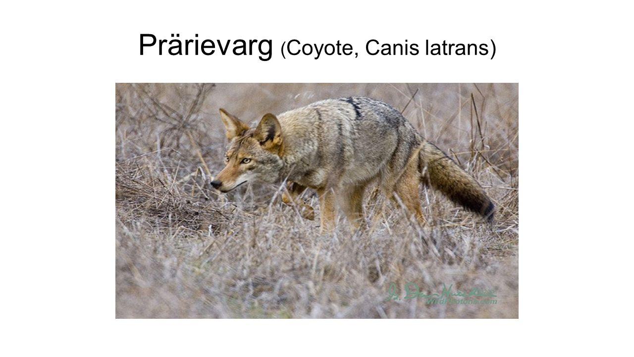 4. Frysa Stannar, står stilla, sitter eller ligger Möter en annan hund Leker